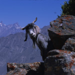 Mountain Goat in Pakistan