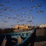 Gulls Over Essaouria