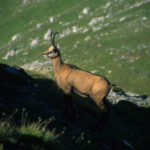 Chamois on the Bucegi Mountains