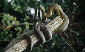 Anaconda on the Rio Napa