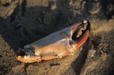 Crab Claw on Mamallapuram Beach
