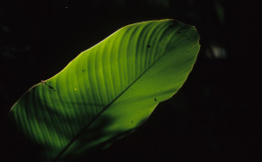 Jungle Leaf
