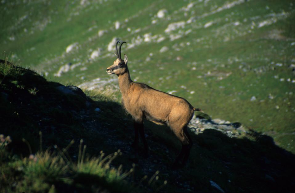 Chamois on the Bucegi Mountains