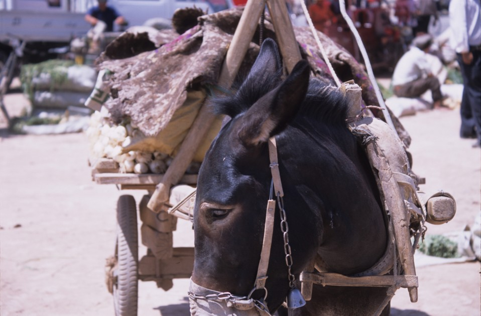 Pack Donkey at Kashgar Markets