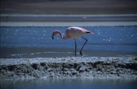 Pink Flamingo on the Salar de Uyuni