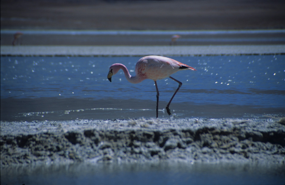 Pink Flamingo on the Salar de Uyuni