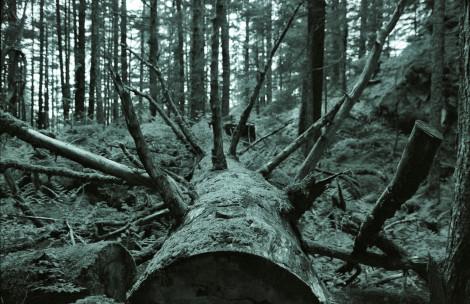 Felled Tree in Juneau
