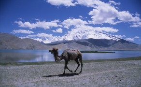 Camel at Karakol Lake