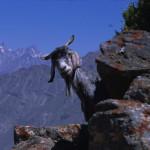 Mountain Goat in Pakistan