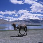 Camel at Karakol Lake