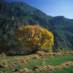 Golden Tree on Tiger Leaping Gorge