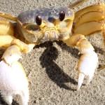 Anarchist Crab