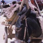 Pack Donkey at Kashgar Markets