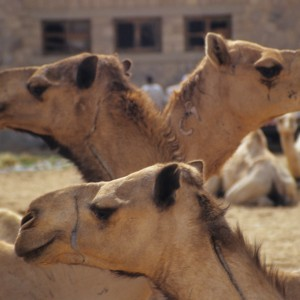 Camel Market in Egypt