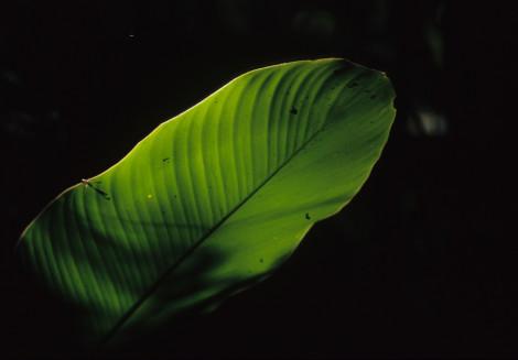 Jungle Leaf