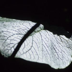 Leaf in San Agustin