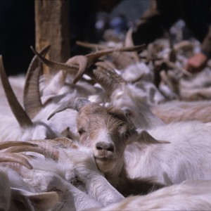 Goat be Free