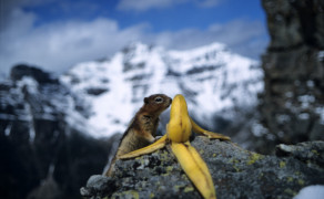 Red Squirrel in the Canadian Rockies