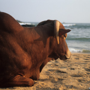 Sacred Cow in Goa